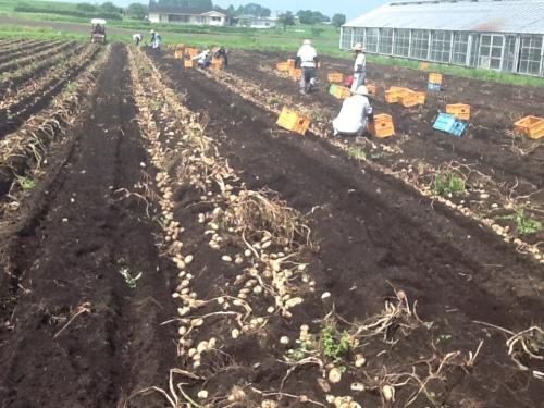 2016-05-31 ジャガイモ収穫1
