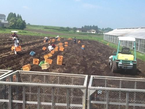 2016-05-31 ジャガイモ収穫2