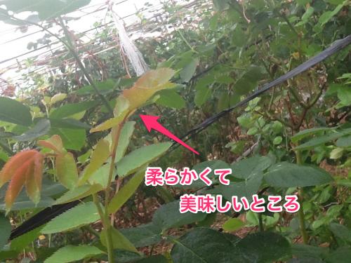 2016-06-06 虫食い1